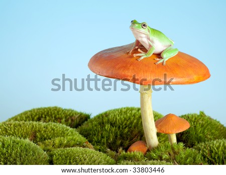 White-lipped tree frog on a toadstool or mushroom - stock photo