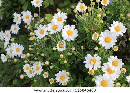 tiny chrysanthemum flowers looking like chamomile stock photo, Beautiful flower