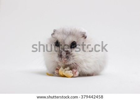 White little hamster eating piece of bread on white background - stock photo