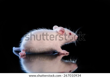 white little rat - stock photo