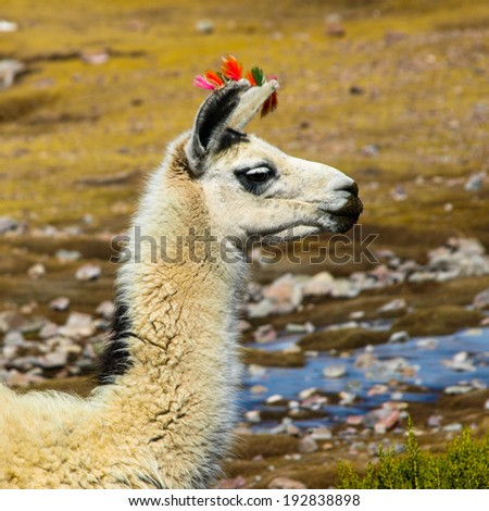 White llama with red ear tassels from right side - stock photo