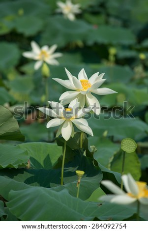 white lotus blooming in pond