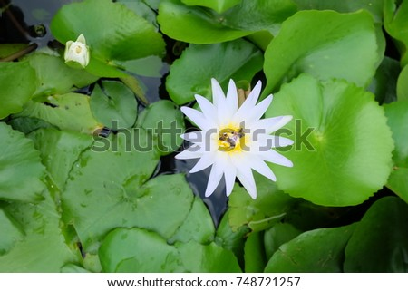 White Lotus blossom and bee in lake