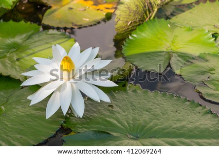 White lotus blossoms blooming on pond. - stock photo
