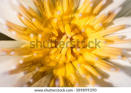 white lotus close up with yellow gaysorn - stock photo
