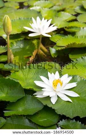 white lotus flower - stock photo