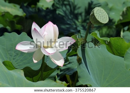 white lotus flower and see plate
