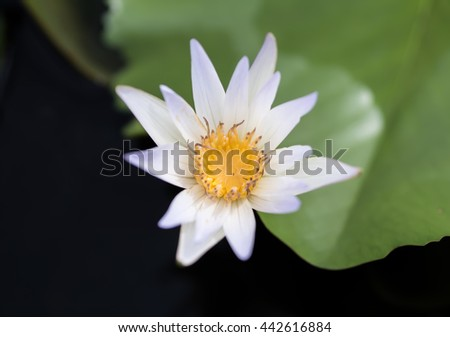 White Lotus Flower Blooming In The Water Jar - stock photo
