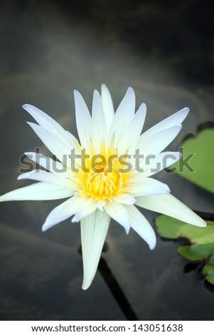 white lotus flower blossom - stock photo