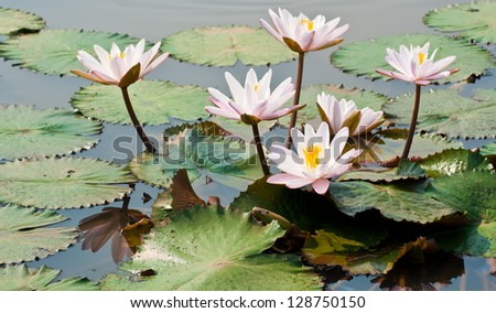 White lotus flower in a pond in natural light - stock photo