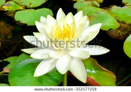 White lotus flower in morning light - stock photo
