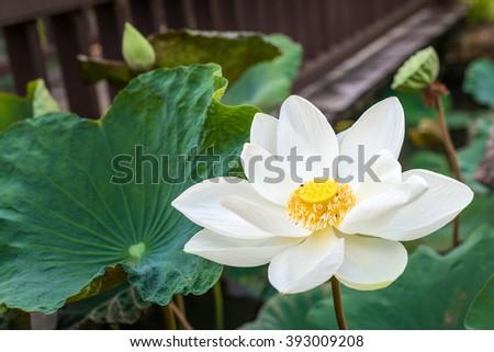 white lotus flower in pond - stock photo