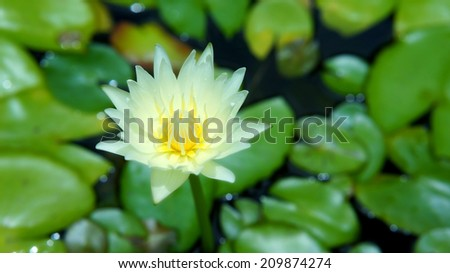 White lotus flower or water lily among green leaves (Blooming flower) - stock photo