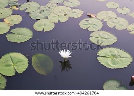 white lotus flower or water lily in pond - stock photo