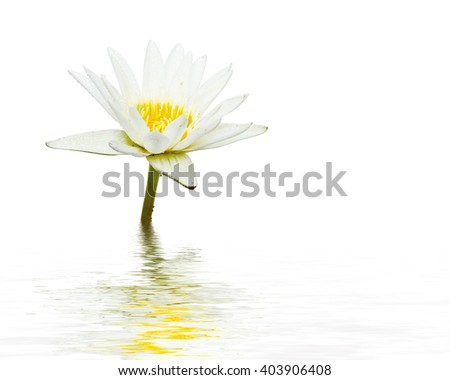 White lotus flower reflection in water on white background. - stock photo