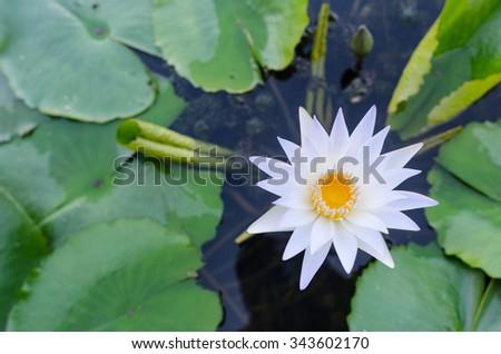 White lotus flower topview - stock photo