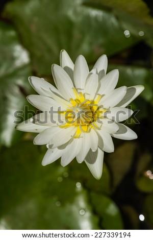 White lotus in the pond. - stock photo