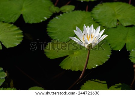 White lotus in the pond - stock photo