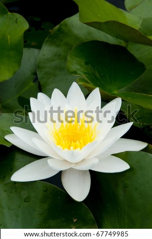 White Lotus in the River - stock photo