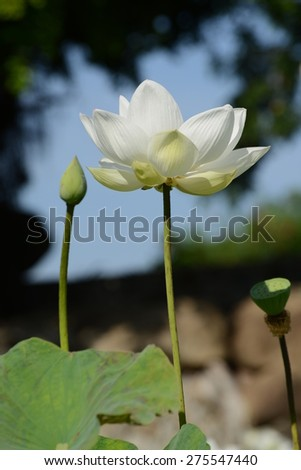 White lotus, Korat Thailand A white lotus flower refers to purity of the mind and the spirit. - stock photo