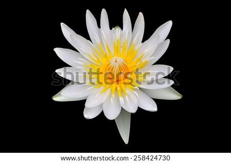 white lotus on black background - stock photo