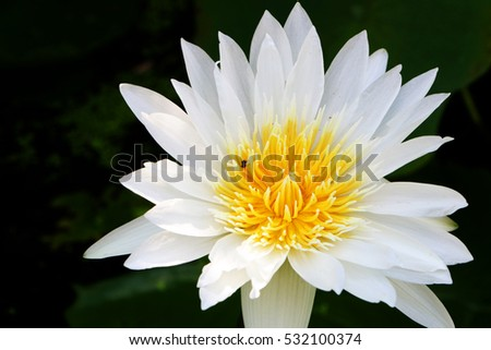 White lotus sunny, with a dark background
