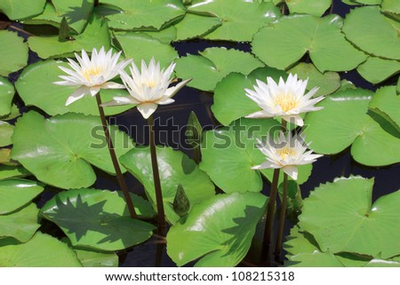 White lotus. Water lily with green leaves on the lake - stock photo