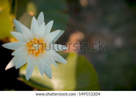 white lotus flower stock images, royaltyfree images  vectors, Natural flower