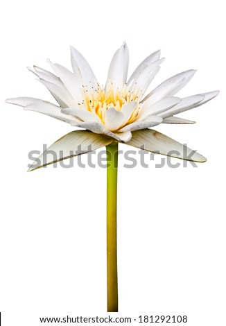 White lotus with yellow pollen isolated on a white background. - stock photo