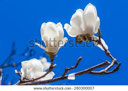 White magnolia blooming in blue sky.