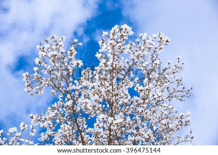 White Magnolia Flowers In Spring, in front of blue sky - stock photo