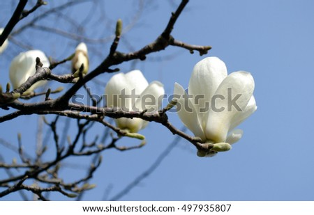 White magnolia, spring flower of South korea