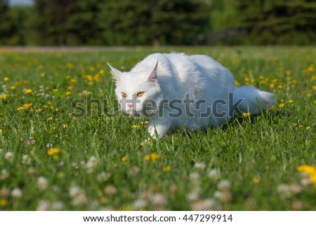 white maine coon cat seats on grass