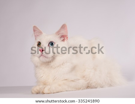 White mainecoon portrait with different eyes studio shot