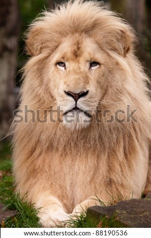 White Male Lion close up - stock photo