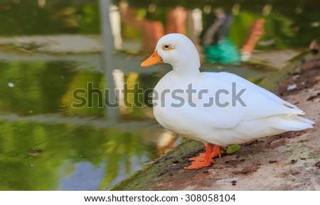 white Mallard Ducks (Anas platyrhynchos) relaxing near pond - stock photo