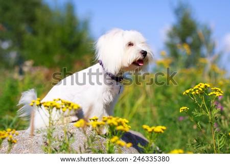White Maltese dog - stock photo