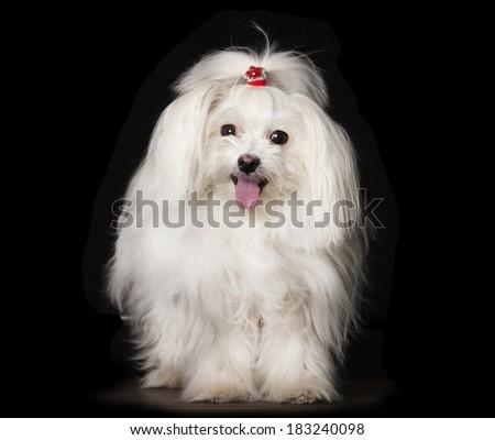 White Maltese dog is sitting on black background - stock photo