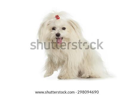 White Maltese dog is sitting on white background - stock photo