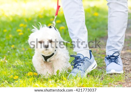White maltese dog walking with her owner