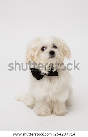 White Maltese dog with black bow and on white background.