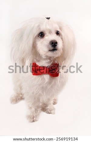 White Maltese dog with red bow and rose isolated on white background