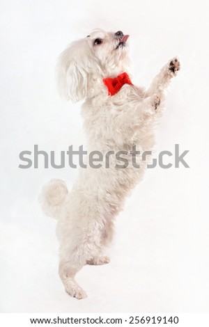 White Maltese dog with red bow and rose isolated on white background. Dog on his hind legs - stock photo
