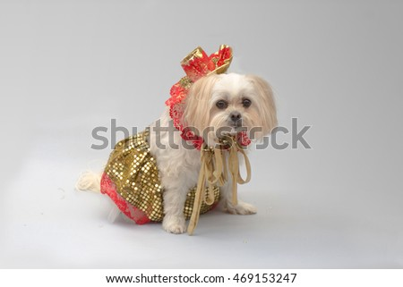 White maltese shi-tzu dog dressed up for a Christmas party