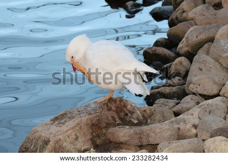 White mandarin duck - stock photo