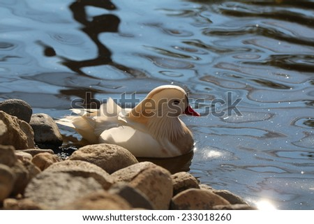 White mandarin duck on the lake - stock photo