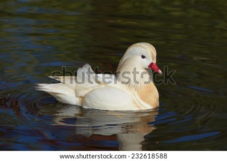 White mandarin duck swimming.