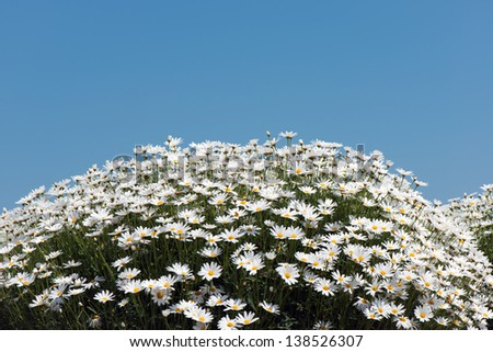 White marguerite flowers against blue sky