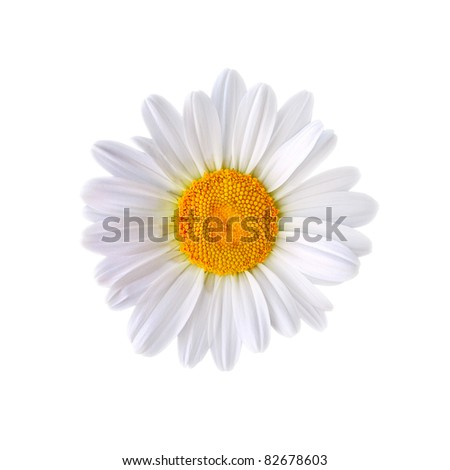 White marguerite isolated on white background