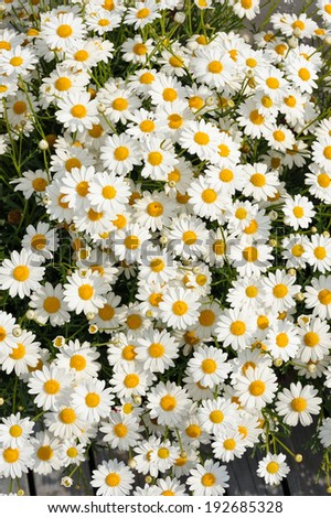 White Matricaria flowers on a summer green meadow. - stock photo